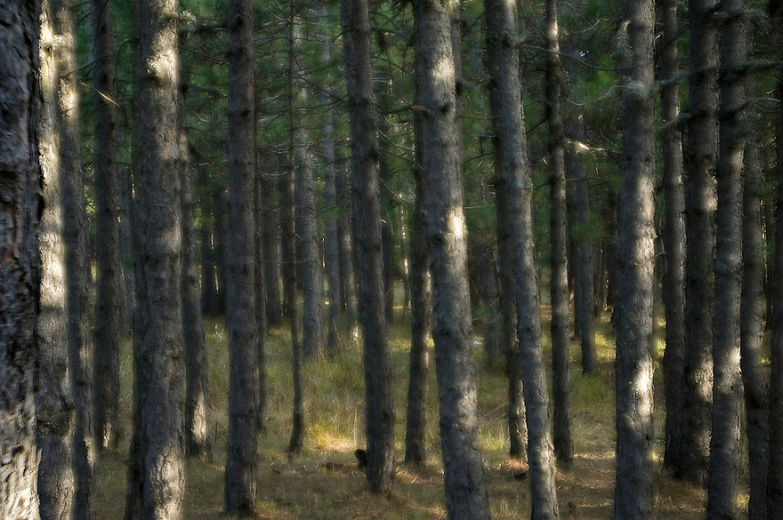 Greece, Pindos Mountains, Pindos NP, Valia Calda, pine trees in Valia Calda