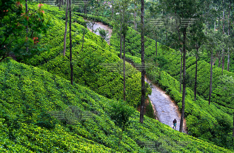 A man walks on a path through a tea plantation.
