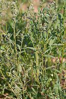 """Gewöhnlicher Acker-Steinsame, Ackersteinsame, Steinsame, """"Acker-Rindszunge"""", Lithospermum arvense, Buglossoides arvensis, Field Gromwell, Corn Gromwell, Bastard Alkanet"""