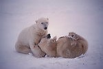 Two polar bears play in the snow.