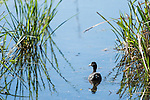 Brazoria County, Damon, Texas; an American Coot (Fulica americana) amongst the reeds on the slough