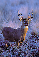 White-tailed deer in winter hoarfrost at dawn..British Columbia, Canada. (Odocoileus virginianus).