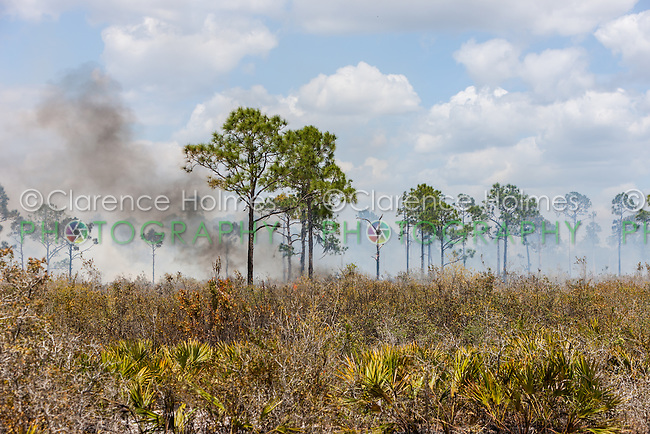 A prescribed fire burns in the pine flatwoods of Highlands Hammock State Park in Sebring, Florida.  Prescribed burns are used periodically to keep invasive species, such as Cogon grass, in check.
