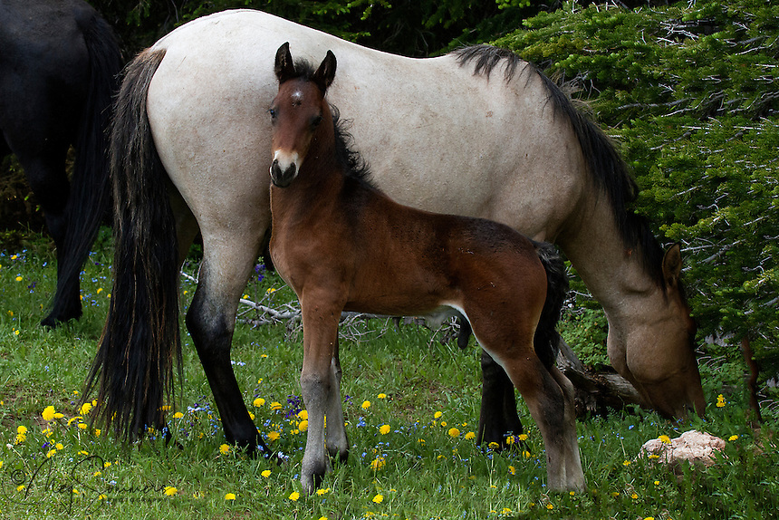 This is Oro with the adorable 4 grey stockings and two tone legs. He is with his mother Maia and his dad or sire is Galaxy, the really wild looking black stallion. Yep, that's his butt there on the left. Isn't he just precious now and what a spectacular stallion he will grow up to be!