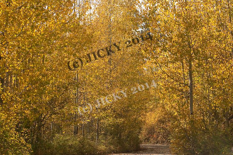 Bowman Lake Road - Aspen trees