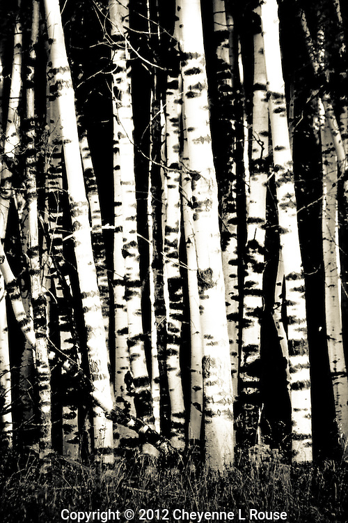Silent Stand - Aspens. Fall in Flagstaff, Arizona<br />