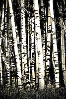 Silent Stand - Aspens. Fall in Flagstaff, Arizona<br /> All Rights Reserved