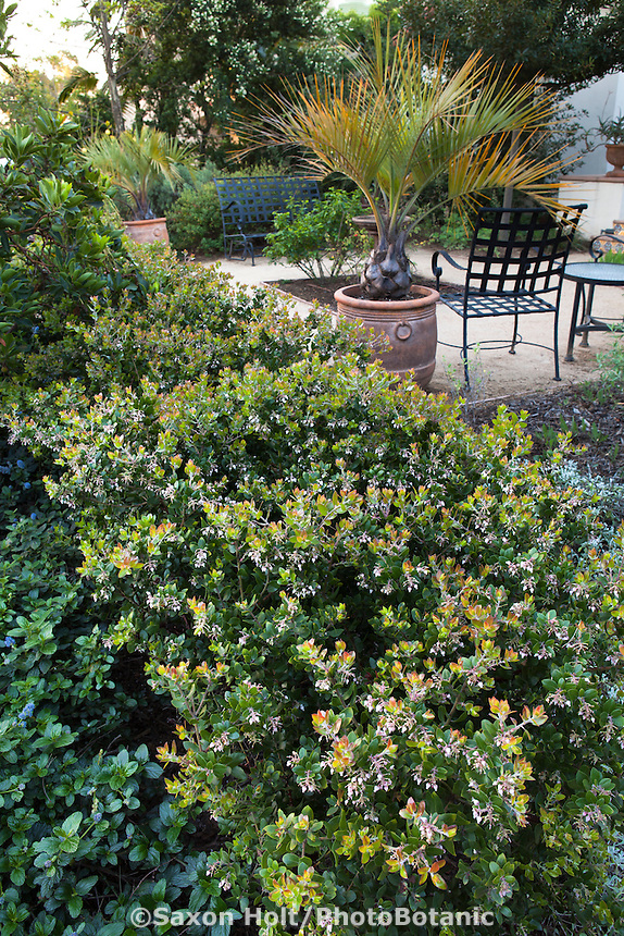 Manzanita hedge (Arctostaphylos) in drought tolerant Southern California native plant garden