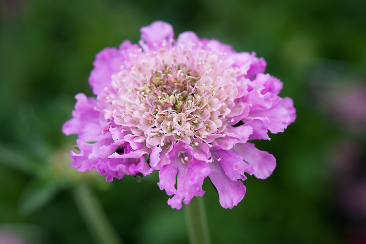 Scabious columbaria 'Pink Mist', early April.