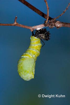 MO06-554z  Monarch forming a Chrysalis - Danaus plexipuss...