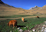 Cattle in Spain