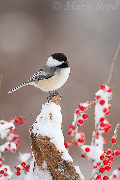 Black-capped Chickadee (Poecile atricapilla) on snow-covered perch amid berries in winter, New York, USA