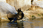 California sea lion sitting on a rock in Monterey Bay, California.