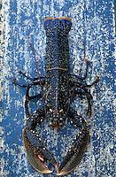 """Europe/France/Bretagne/29/Finistère/Le Conquet: Pêche au homard bleu de Bretagne sur le """"Louar Ar Mor"""""""