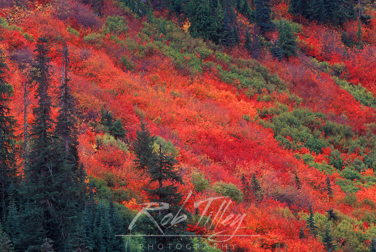 Autumn Color, Steven's Pass, Wenatchee NF, WA