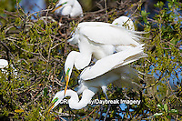 00688-02207 Great Egrets (Casmerodius albus) mating, St Augustine FL