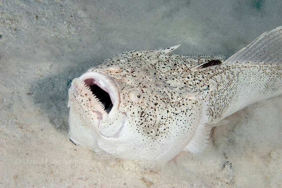 The stargazer, Uranoscopus chinensis, is an ambush predator that remains buried during the day, with only it's eyes and mouth visible.  This individual was disturbed, and is pictured burying itself again.  Mabul Island, Malaysia.