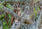 Verreaux's eagle-owl, Kruger National Park, South Africa
