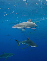RM0705-D. Silky Sharks (Carcharhinus falciformis), dozens gathered together to feed on small fish in baitball. Baja, Mexico, Pacific Ocean. <br /> Photo Copyright &copy; Brandon Cole. All rights reserved worldwide.  www.brandoncole.com