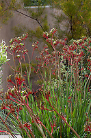 Anigozanthos flavidus Red, flowering perennial in California summer-dry garden with Australian plants; design Jo O'Connell