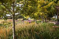 Aspen trees 'Prairie Gold in backyard prairie garden; Scripter garden, Colorado; design Lauren Springer Ogden