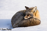Red fox (cross) resting in winter. Grand Teton National Park, Wyoming.