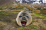 Southern Elephant Seal weaner, South Georgia Island, UK