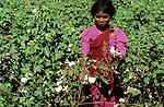 INDIA Madhya Pradesh, girl harvest cotton at farm / INDIEN Madhya Pradesh, Kinder pfluecken Baumwolle auf einer Farm