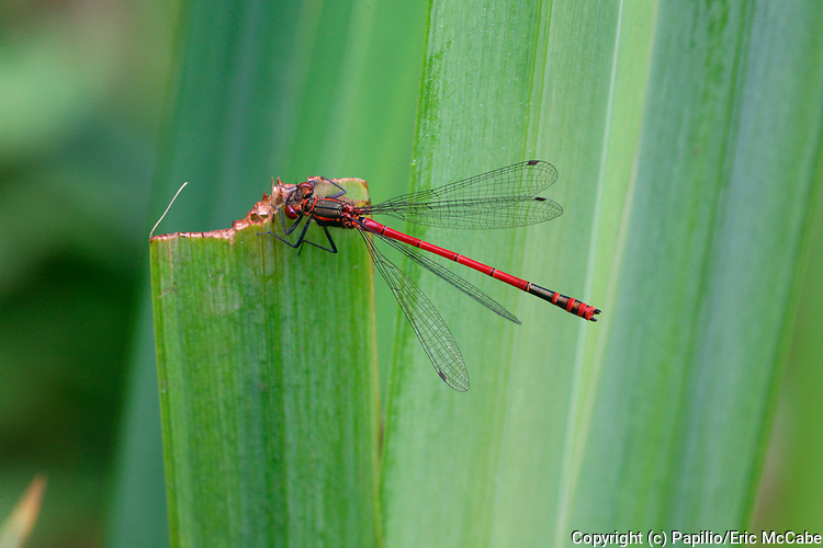 Large Red Damselfly Pyrrhosoma nymphula male in Argyll<br /> nature<br /> wildlife<br /> british<br /> britain<br /> Scotland<br /> insect<br /> odonata<br /> damselfly<br /> stream<br /> acid<br /> male<br /> Pyrrhosoma nymphula<br /> Pyrrhosoma<br /> UK<br /> wetland<br /> dragonfly