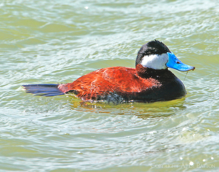 Adult male ruddy duck in breeding plumage, swimming with tail down