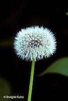 DN03-121z  Dandelion Seed Puff Taraxacum officinale.