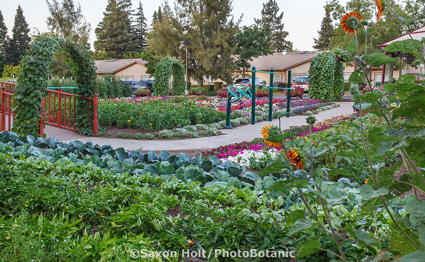 Therapeutic Community Garden of Healdsburg Senior Living Center, California with pathway between vegetable and flower gardens incorporating physical therapy exercises and equipment