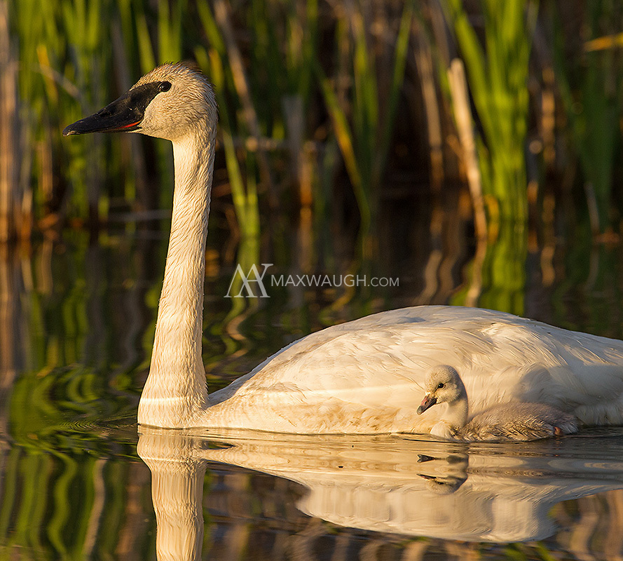 This was my first opportunity to photograph newly-hatched Trumpeter swan cygnets.