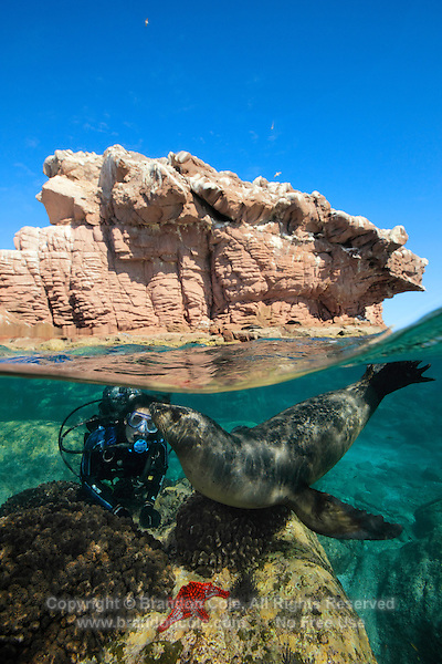 QT0893-D. California Sea Lion (Zalophus californianus) interacting with scuba diver (model released), split view photo. Baja, Mexico, Sea of Cortez, Pacific Ocean.<br /> Photo Copyright &copy; Brandon Cole. All rights reserved worldwide.  www.brandoncole.com