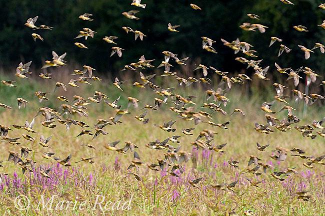Bobolinks (Dolichonyx oryzivorus) flock in flight in autumn, Montezuma National Wildlife Refuge, New York, USA