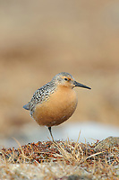 Adult Red Knot (Calidris canutus) of the westen Alaska subspecies C. c. roselaari in breeding plumage. Seward Peninsula, Alaska. June.