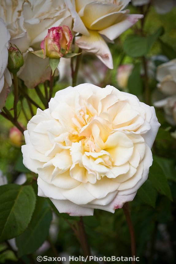 Rosa 'Gruss an Aachen' white flower rose in garden