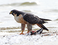 Adult peregrine falcon. About time to move on, I can't eat another bite.