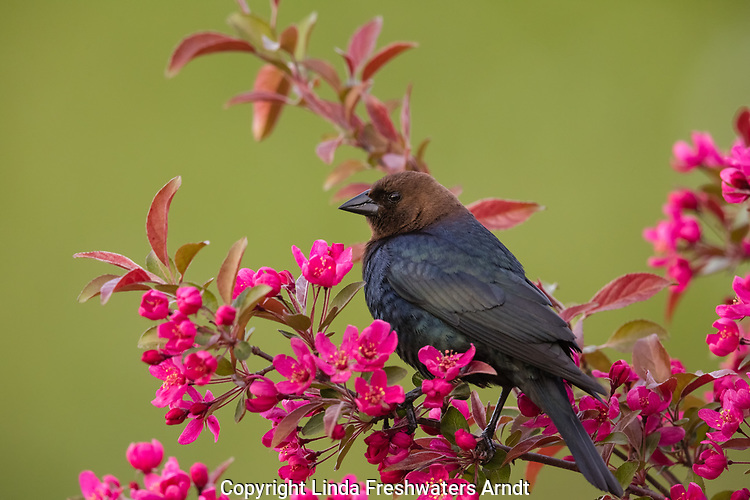 Brown-headed cowbird in a flowering crab apple tree