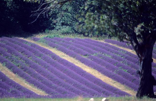 Vaucluse, France. Champ de lavande, plateau d'Albion *** Lavender field, Albion plateau. France, Vaucluse.