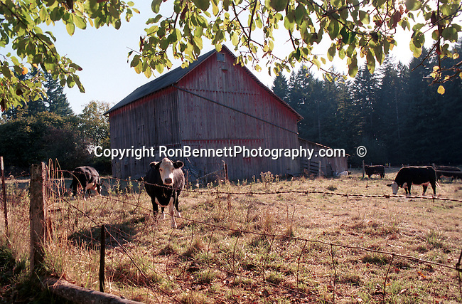 cow barn Oregon, state of Pacific Northwest, Pacific coast, Columbia river, Snake river, Oregon Territory 1848, Salem, February 14 1859, Willamette River, Willamette valley, Portland, Cascade Mountain Range, dense evergreen forest, high desert, Douglas firs, redwoods, prairies, meadows, deserts, scrublands, central Oregon, Mount Hood, Crate Lake, Haystack Rock, Malheur Butte, Lewis and Clark expedition, Fort Clatsop, Native American, the Bannock, Chasta, Chinook, Kalapuya, Klamath, Molalla, Nez Pece, Takelma, Umpqua,