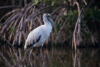 Wood Stork, Mycteria americana, adult, Sanibel Island, Florida, USA