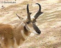 0606-1102  Pronghorn (Prong Buck) in Sonoran Desert, Antilocapra americana  © David Kuhn/Dwight Kuhn Photography