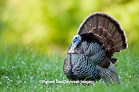 00845-07202 Eastern Wild Turkey (Meleagris gallopavo) gobbler strutting in field, Holmes Co., MS