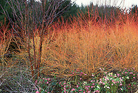 Cornus sanguinea 'Winter Beauty'aka Cornus sericea Winter Beauty, red twig dogwood, Prunus maackii bark, blooming Hellebores in winter, winter interest bark and stems plants in garden combination