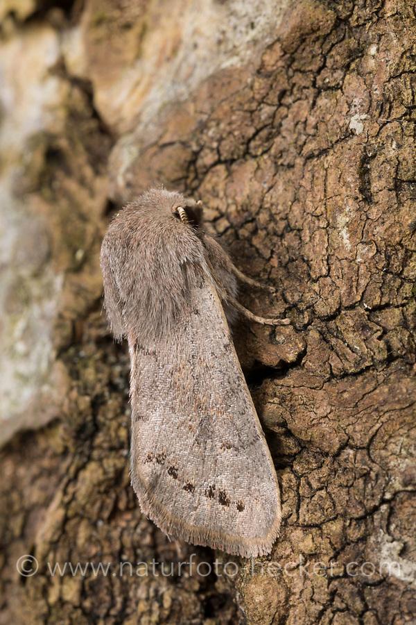 Pappel-Kätzcheneule, Pappel-Kätzchen-Eule, Orthosia populeti, Lead-coloured Drab, Eulenfalter, Noctuidae, noctuid moths, noctuid moth