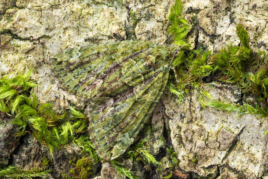 Red-green Carpet Moth (Chloroclysta siterata). Peak District National Park, Derbyshire, UK. April. Focus stacked image.