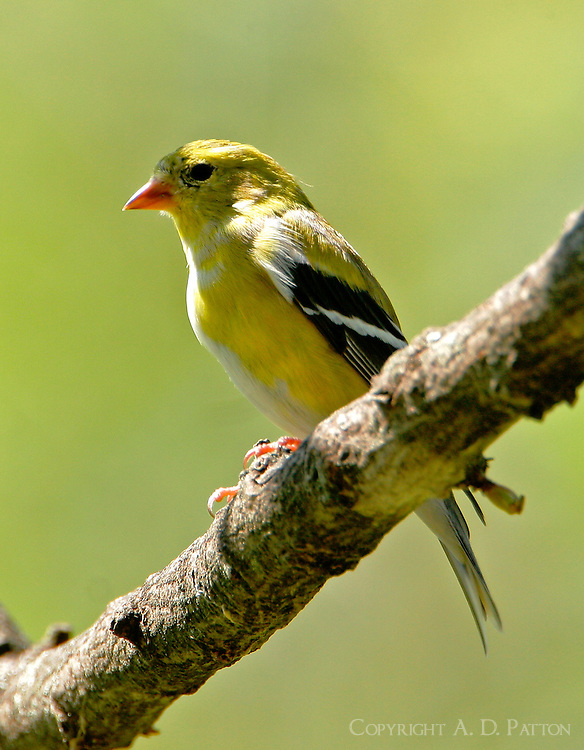 Adult female American goldfinch in breeding plumage