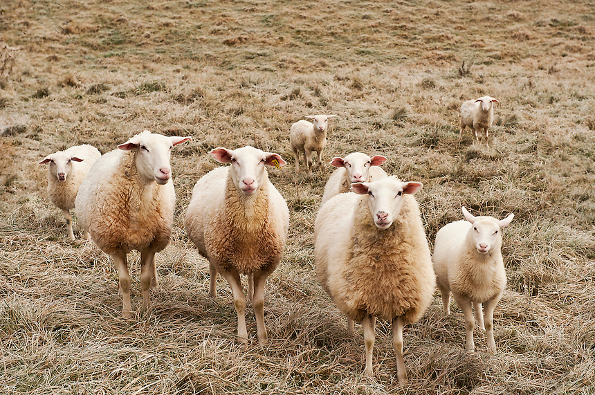 Group of curious sheep, Ovis aries.