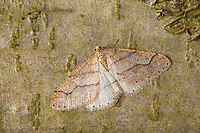 Graugelber Breitflügelspanner, Breitflügel-Spanner, Männchen, Agriopis marginaria, dotted border, male, l'Hibernie hâtive, Spanner, Geometridae, looper, loopers, geometer moths, geometer moth